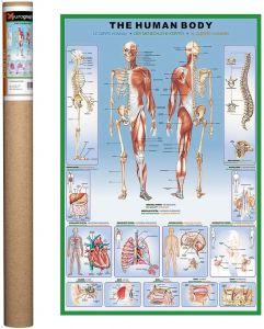 Plakat:  The human body - Str. 90x60 cm. 11-2450-1000